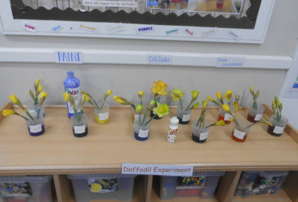 Daffodil Science experiment Photo-3