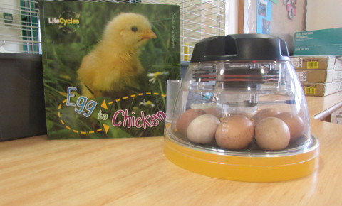 The baby chick's are on their way! Photo-1