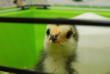 Our chicks have gone back to the farm Photo-4